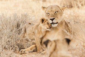 Mutterlöwe mit Jungem in Botswana