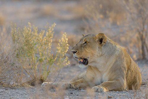 Leeuwin in late avond zon