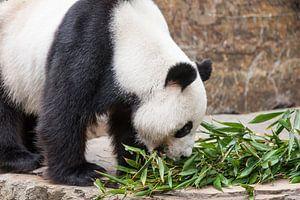 Een Reuzenpanda eet zijn voedsel dat uit bamboe bestaat