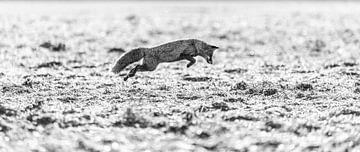Fuchs Schwarz-Weiß von Felix Brönnimann