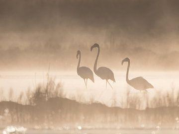 Flamingos im Nebel mit Hintergrundbeleuchtung. von