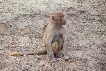 jong aapje van