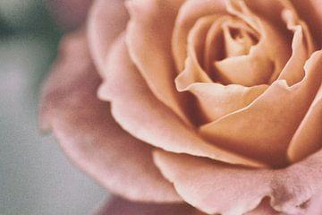 Rose van Judith Marie