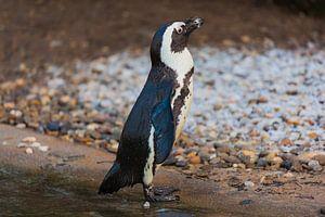 Sunbathing penguin