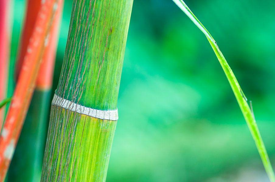 Groene bamboe met rode tinten