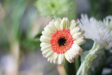 Gerbera bloem van Marianna Pobedimova