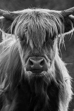 Schottischer Highlander schwarz, weiß von Jacco van Son