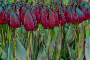 red tulips van eric van der eijk