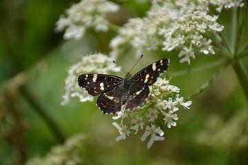 vlinder Zeijen van Henriette Tischler van Sleen