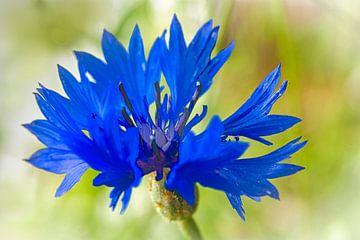 Blaue Kornblume von Rietje Bulthuis