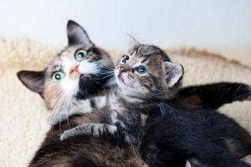Kitten met moeder poes van Rene du Chatenier