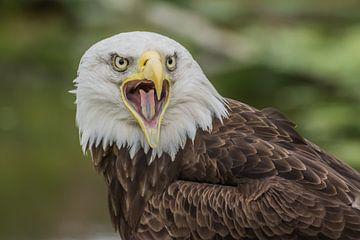 Wütender Seeadler von Stephan Scheffer