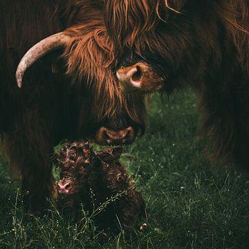 Geboorte van een Schotse Hooglander | Dieren fotografie koe | Tumbleweed & Fireflies Photography van Eva Krebbers | Tumbleweed & Fireflies Photography