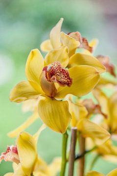 orchidee 4 von John van Weenen