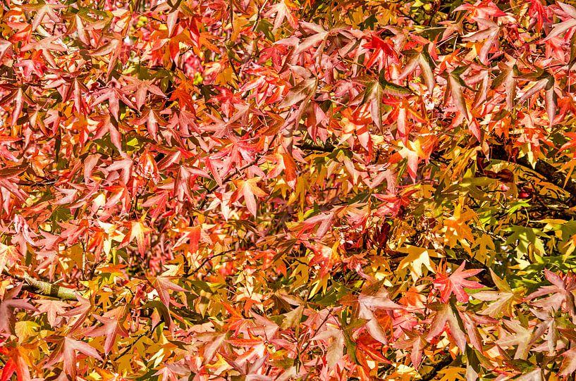 Les feuilles du liquidambar sur Frans Blok