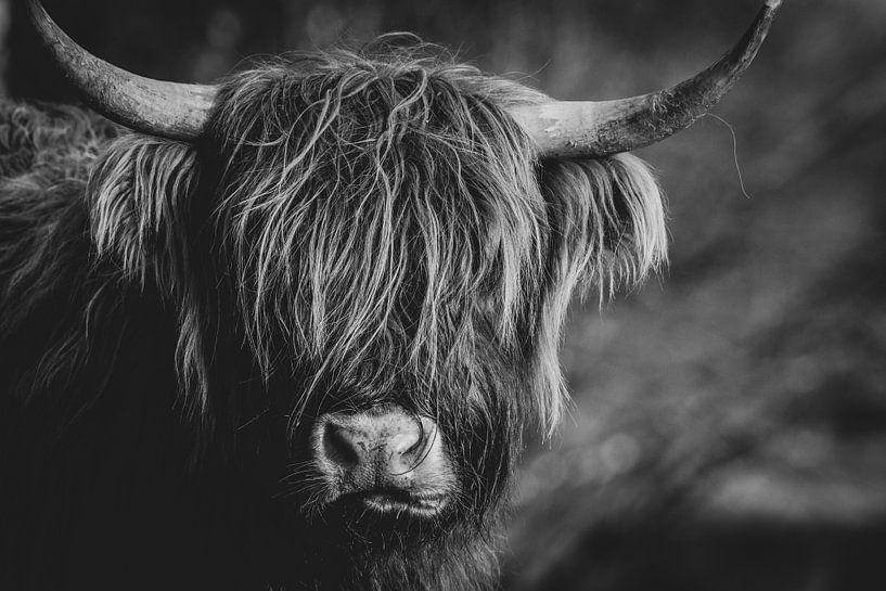 Close-up van een Schotse Hooglander Koe in Nederland in zwart-wit van Maarten Oerlemans