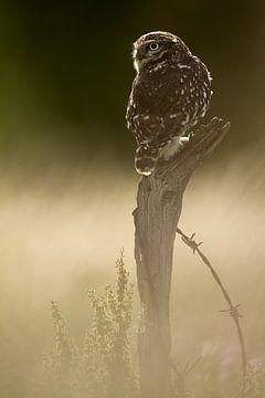 Chouette chevêche sur tronc d'arbre dans la dernière lumière sur Jeroen Stel