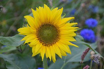 Sonnenblume von Fendo Pater