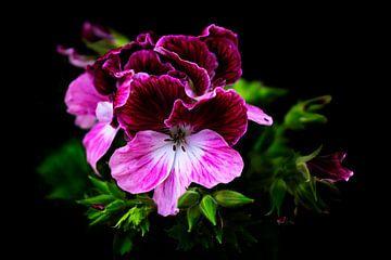 Roze Geranium bloem