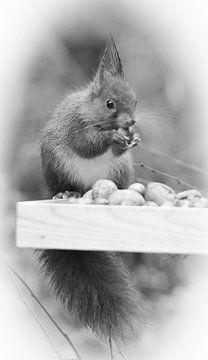 eekhoorns van Tinus Tibbe