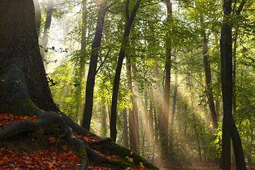 Buche mit Sonnenschein im Herbst von Maarten Pietersma