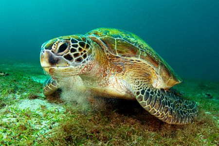Grüne Meeresschildkröte von Filip Staes