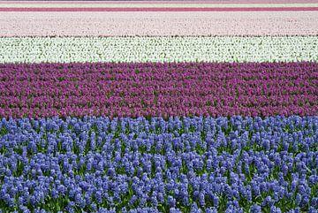Blauw,  paars, wit en roze hyacinten in bloei van Tiny Hoving-Brands