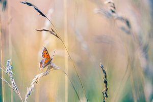 Kleine vuurvlinder tussen het gras van