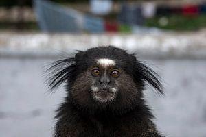 Little monkey van Robert Beekelaar