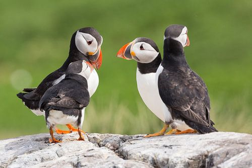 Vogels | Papegaaiduikers overleg van