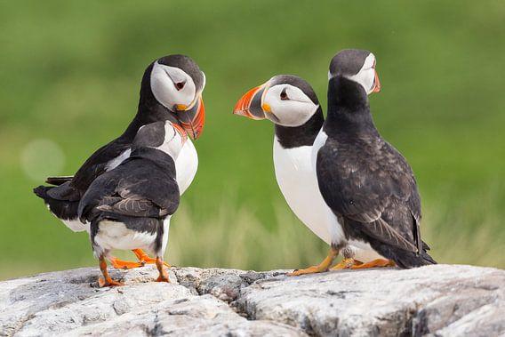 Vogels | 'Papegaaiduikers overleg' - Farne eilanden