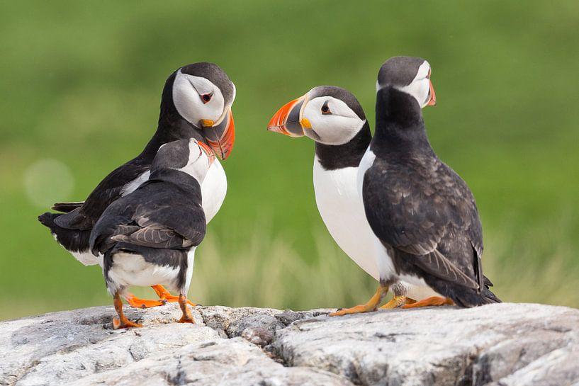 Vogels | 'Papegaaiduikers overleg' - Farne eilanden van Servan Ott