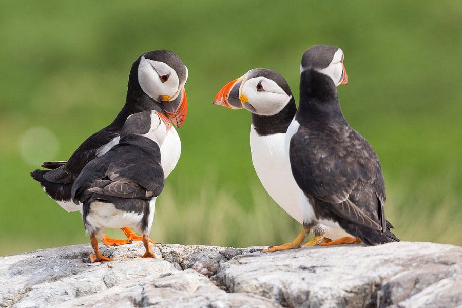 Vogels | Papegaaiduikers overleg
