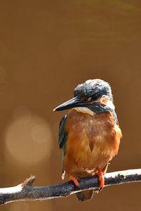 IJsvogel oranje achtergrond met bokeh