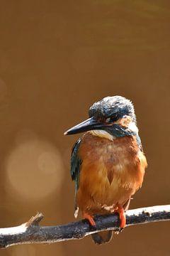 IJsvogel oranje achtergrond met bokeh sur Sascha van Dam