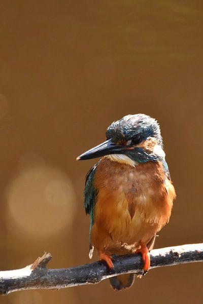 IJsvogel oranje achtergrond met bokeh van Sascha van Dam