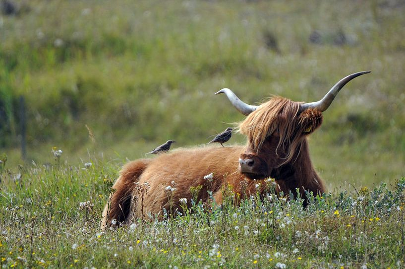 Schotse Hooglander  van Ronald Timmer