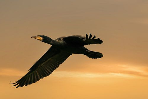 Een gedetailleerde Aalscholver tijdens de vlucht met uitgespreide vleugels. Tegen een gouden lucht m