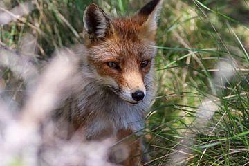 Fuchs in der Wildnis von Anjella Buckens