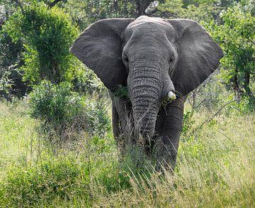 Un éléphant dans le parc Kruger sur Karin vd Waal