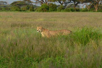 Cheetah van Alexander Schulz