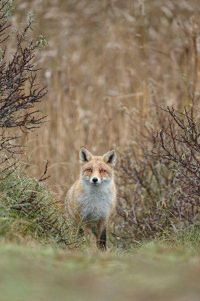 Red fox von Menno Schaefer
