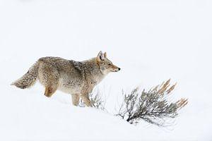 Kojote ( Canis latrans ) im Winter auf der Jagd bei hohem Schnee , wildlife, Yellowstone NP, USA.