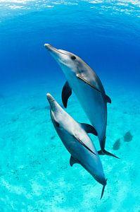 Dolfijnen duo van Joost van Uffelen
