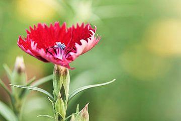 Verbazingwekkend vormige rode bloem in een dromerige omgeving van Tony Vingerhoets