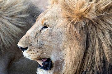 Löwen Portrait von Angelika Stern