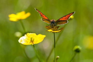 Grote Vuurvlinder op boterbloemen von Fokko Erhart