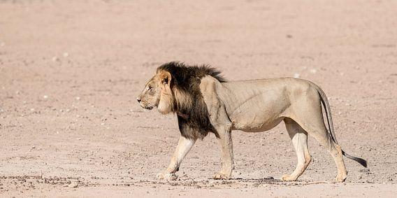 A Kgalagadi King!