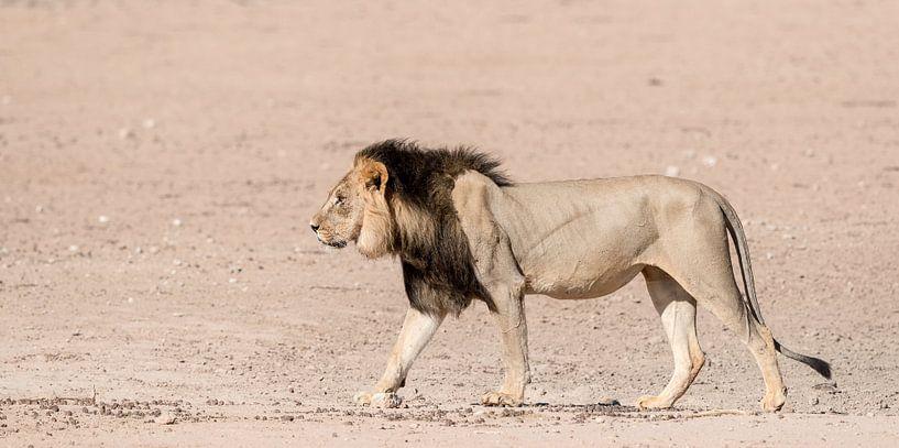 A Kgalagadi King! van Robert Kok