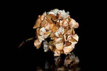 Hortensia gedroogde bloem van Klaartje Majoor